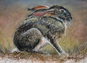 Cape Hare study 2
