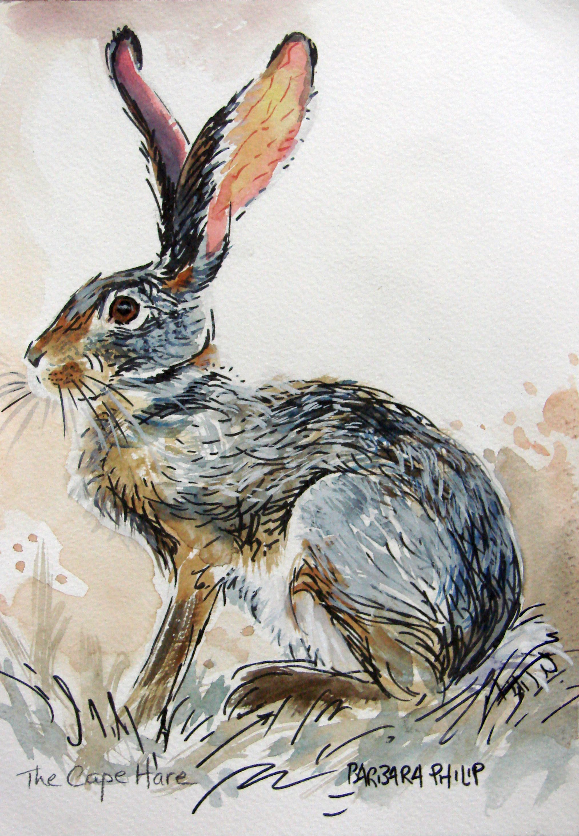 Cape Hare Study 4