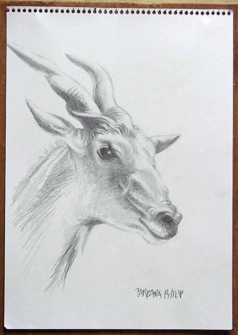 Pencil drawing of an elands head