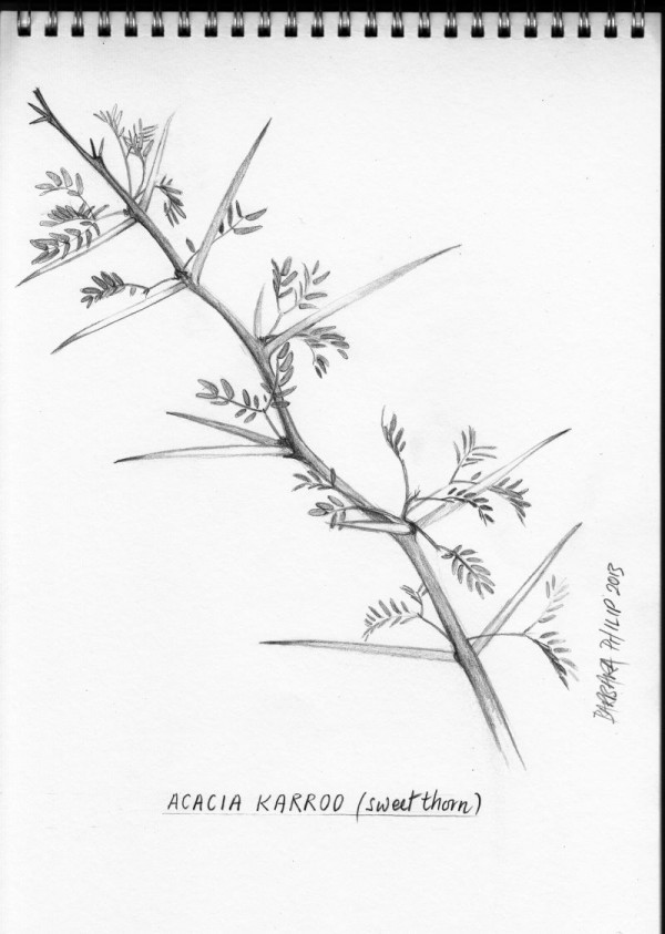Acacia Karroo / Sweet thorn. Pencil sketch.