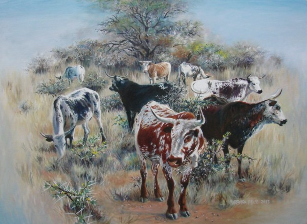 Nguni in Acacia thornveld.