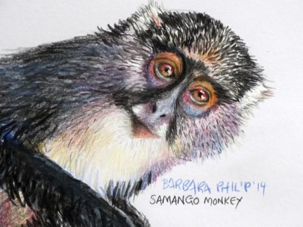 Samango monkey.