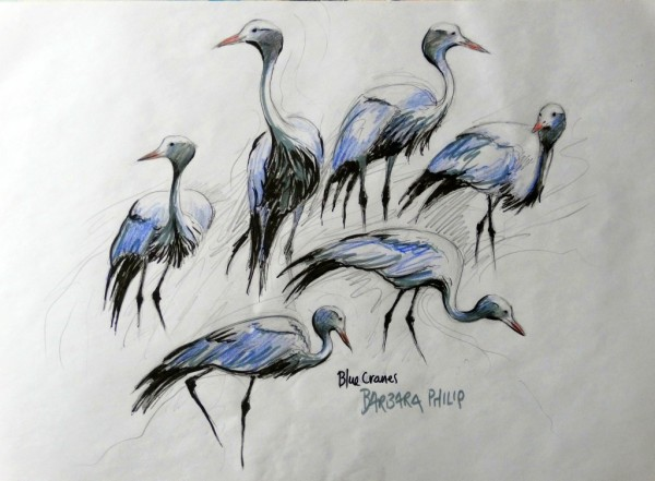 Blue Crane sketches