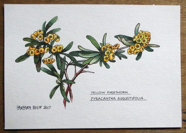Botanical study . Yellow Firethorn
