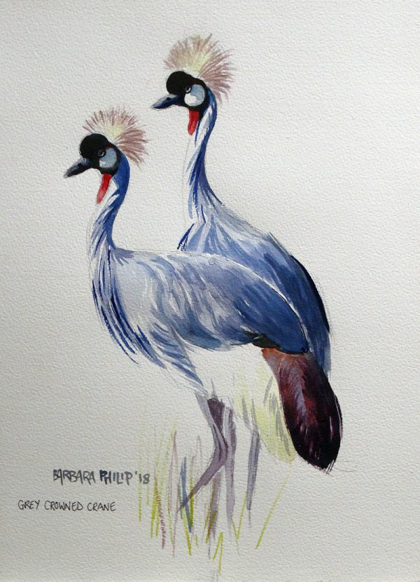 Balearica regulorum, Grey Crowned Crane,