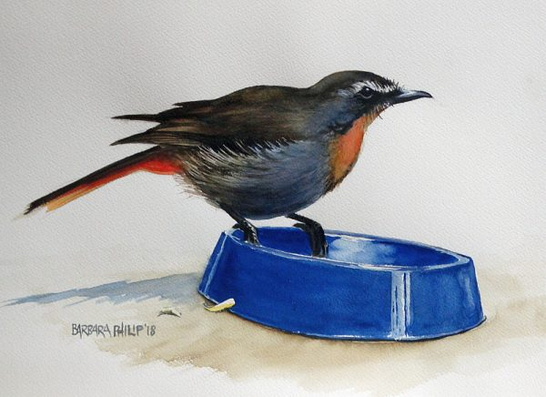 Cape robin-chat, eating cheese.