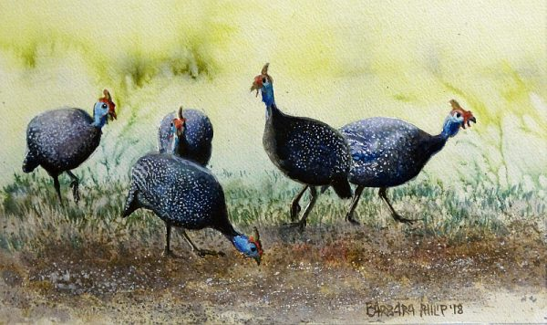 Guinea Fowl at feed time