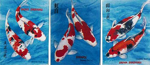 Koi fish painting. Sanke, Kohaku, Showa