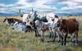 Nguni cattle herd
