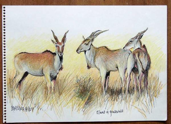 Eland sketch. colour.