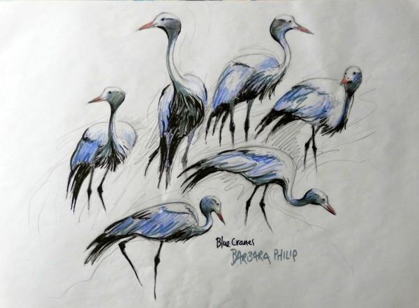 Blue Crane sketches