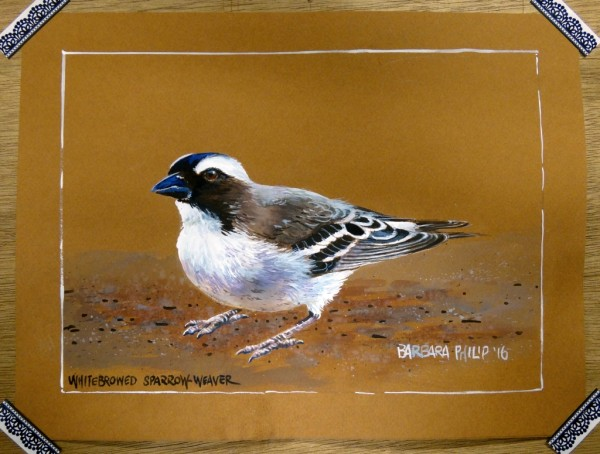 Karoo Bird, the Whitebrowed Sparrow Weaver.