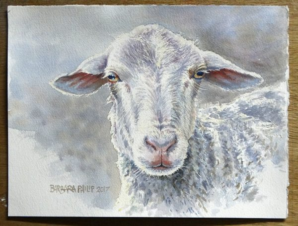 Sheep, portrait of a ewe.