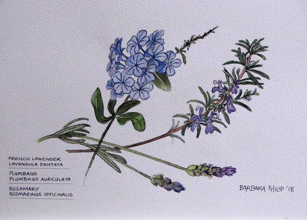 Blue Lavender, Plumbago & Rosemary.