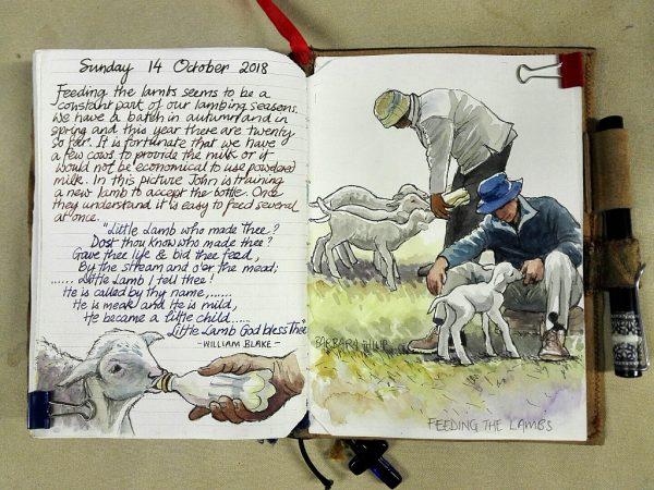 Feeding the hansie lambs